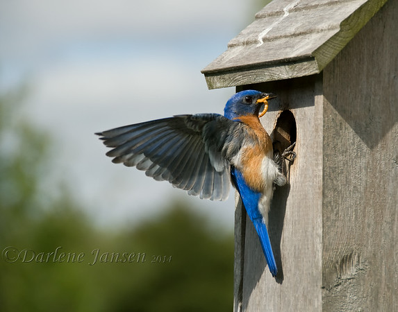 "We've had bluebird nesting boxes in our backyard for the past 15 years. Each year at least three bluebird families are raised by very busy parents. It's a joy to hear their soft, sweet melody and later to hear the ""peeps"" of their young, eagerly waiting for food from both mom & dad; great insect control for your yard too  :)   After the young have left and the nesting boxes are empty, each fall groups of 10 to 12 bluebirds come back to these same nesting boxes, fly all around them, land on the roof, go inside to check things out, take a swim in the birdbath and eat berries off the shrubs."