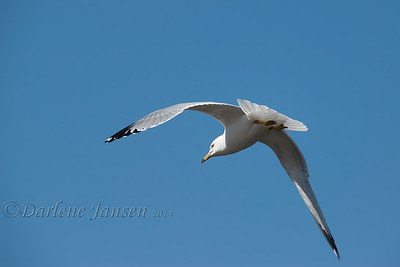 bird, ring billed gull, wisconsin, wildlife, darlene jansen photography,