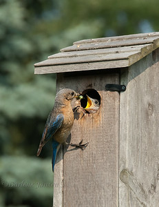 Observing this Eastern Bluebird family was both fun and a learning experience. They resided right in our immediate backyard and were comfortable with us always being around.  This image was taken two days before all the young ones left the nest. Both parents were busy feeding from early morning to late in the day.  Their meals included spiders, insects, berries, Monarch & Swallowtail caterpillars. The most exciting catch of the day, when the male Bluebird brought back a Green Darner dragonfly, which is large.  The young ate quickly and with only the wings of the dragonfly remaining and the male positioning the narrow end toward the young, the wings were eaten also. I expected the wings to be removed thinking it would be to difficult for a young bird to swallow, little did I know :)