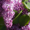 There is nothing sweeter than being drawn in by the fragrance of a Lilac in spring. While the flower spikes face upward, on the morning this image was taken, they were all soaked with rain from the night before and hanging downward.