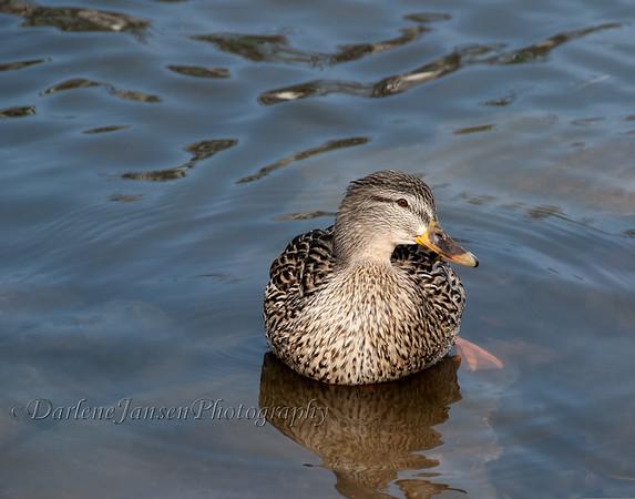 Female Mallard duck resting on a rock & soaking up the sun.