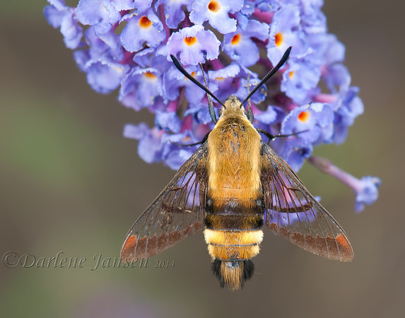 Snowberry Clear Wing Moth on Butterfly Bush